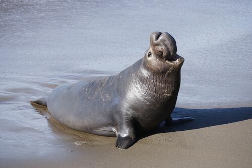 Elefante marino, toda una vida en el frío - Mis Animales