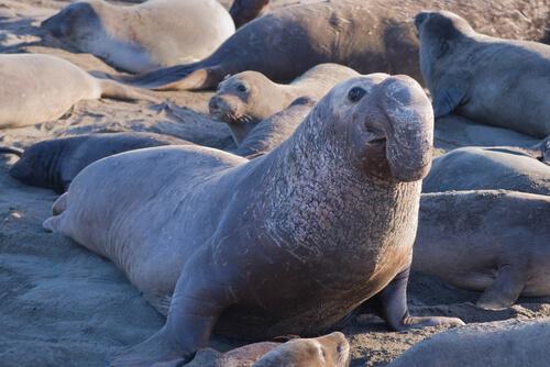 Elefante marino: hábitat