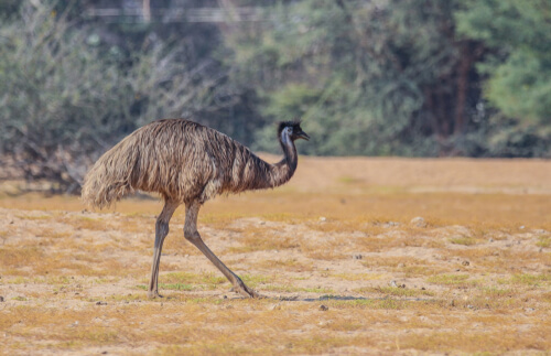 5 animales endémicos de Australia