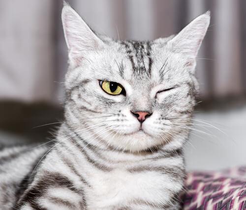 qué hacer para un gatito con una infección ocular