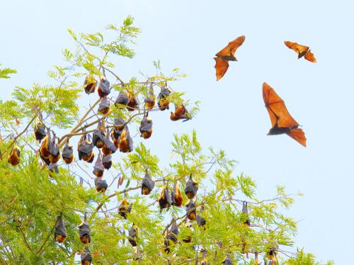 5 especies de murciélagos