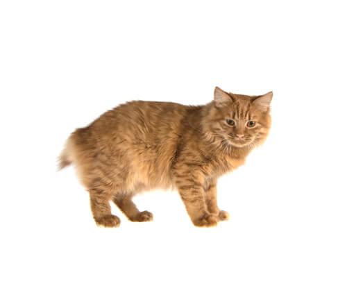 La espina bífida en gatos