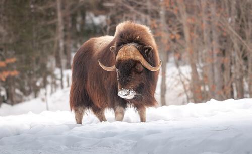 La fauna de Groenlandia