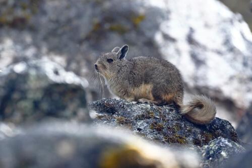 La fauna en la cordillera de los Andes