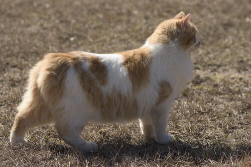 Gato Cymric: características
