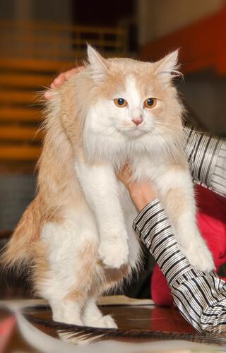 Gato Cymric: cuidados
