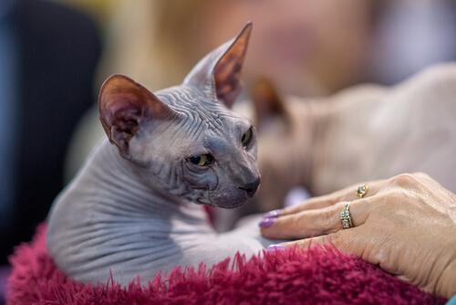 Gato Donskoy: carácter