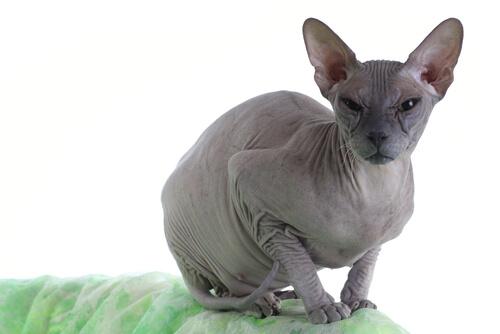 Gato Donskoy: características