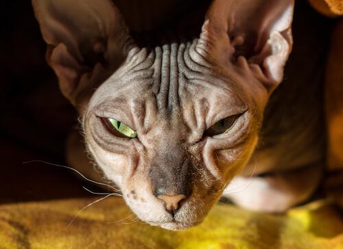 Gato Donskoy: calvo, cariñoso e inteligente