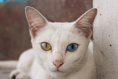 Gato Khao Manee: comportamiento