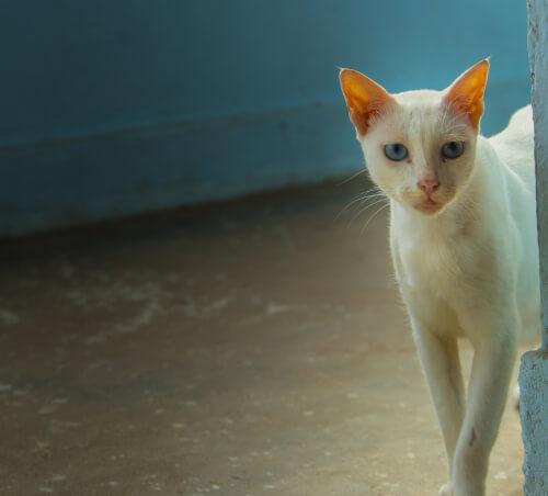 Gato Khao Manee: origen