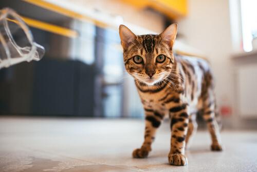 Mi gato se tambalea al caminar: ¿qué hago?