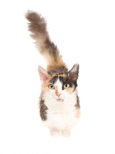 Gato skookum: características