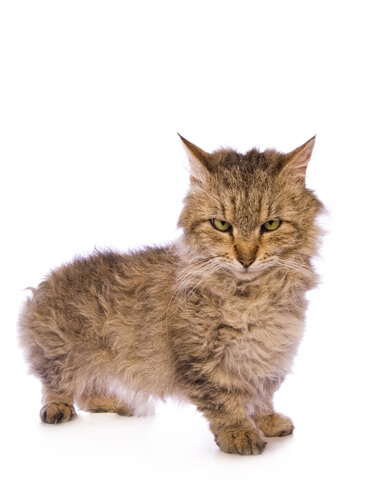 Gato skookum: comportamiento