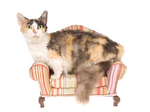 Gato skookum: cuidados