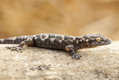 Gecko tropical