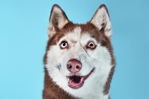 Heterocromía en perros