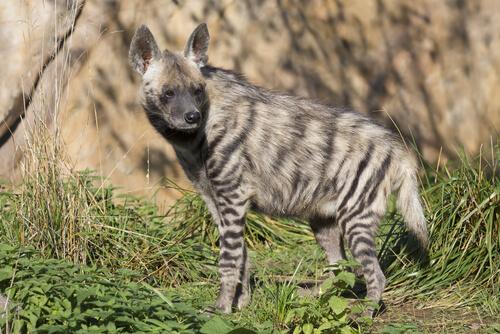 Las 4 especies de hienas actuales