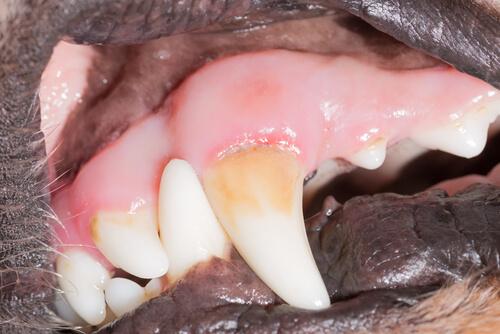 Hilo dental para perros