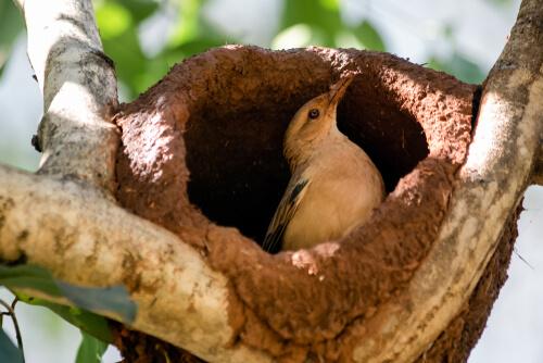 Hornero: características, hábitat y nido