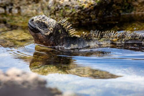 Iguana marina de Galápagos