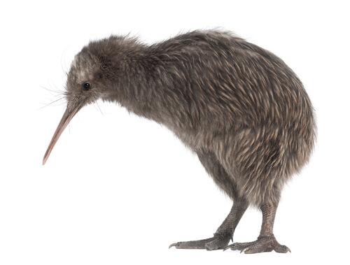 Kiwi: alimentación