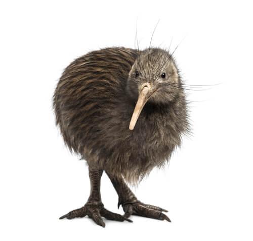 Kiwi: características