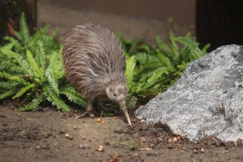 Kiwi: el ave que no vuela