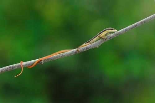 5 animales con cola más larga