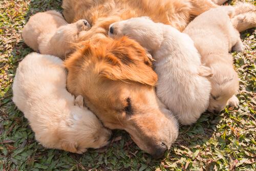 Leche materna de perros