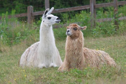 Las Diferencias Entre Llamas Y Alpacas