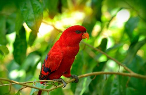 Lori rojo (Eos bornea)