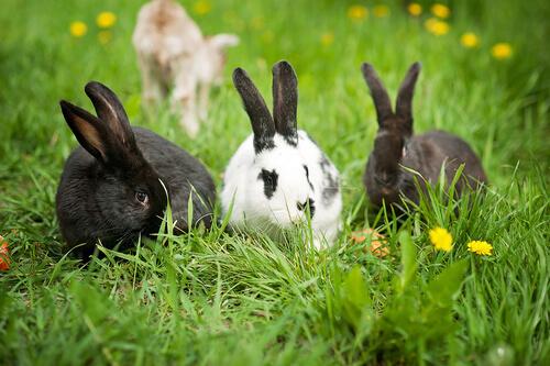 Los conejos no son roedores