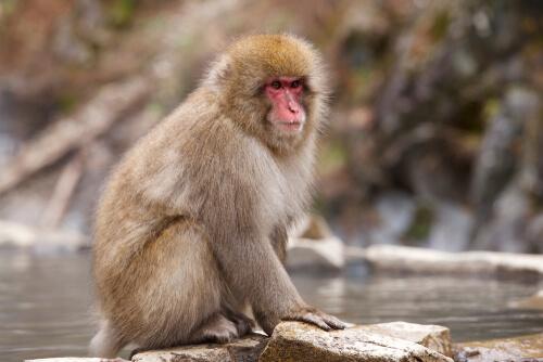 El macaco de cara roja: un curioso primate
