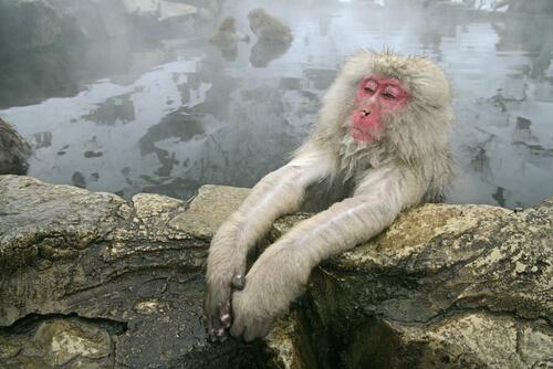Macaco de cara roja