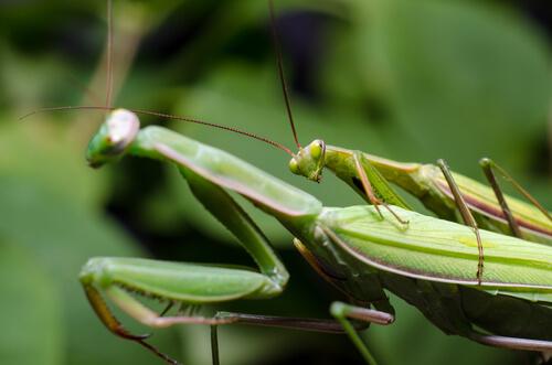 Mantis religiosa: reproduccion
