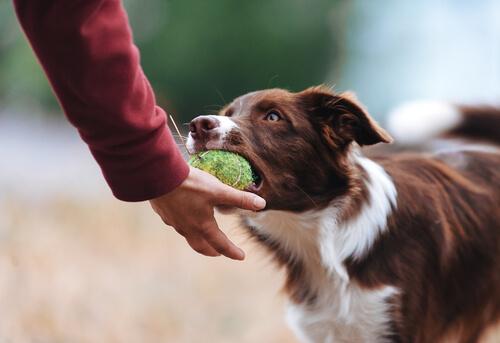 Tips para evitar un perro posesivo con sus juguetes