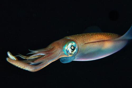 El mimetismo en el calamar