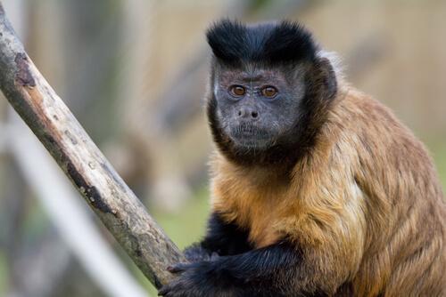 Mono capuchino: amenazas
