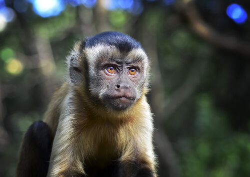 Curiosidades del mono capuchino de cabeza dura