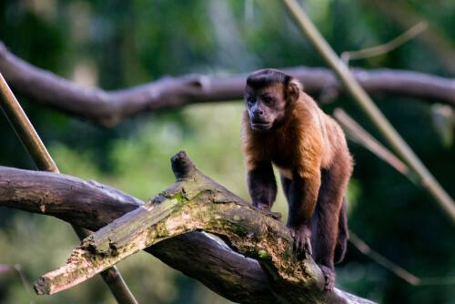 Mono capuchino: herramientas