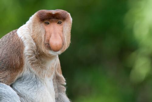 Mono narigudo de Borneo
