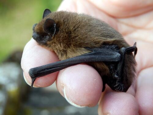 El manejo de murciélagos en cautividad