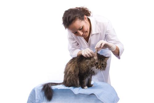 Otitis en gatos: causas