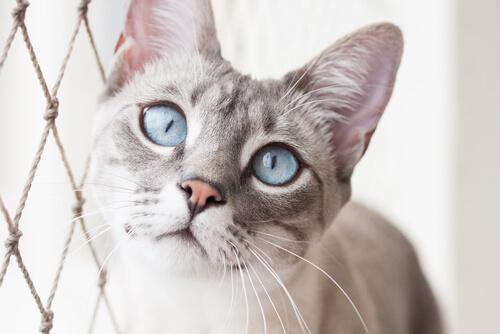 Otitis en gatos: remedios