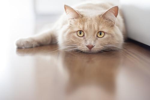 Otitis en gatos: síntomas