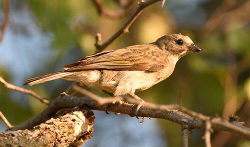 Pájaro indicador del Zambeze