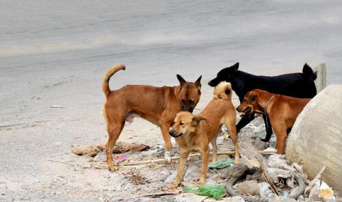 Parvovirus canino: contagio