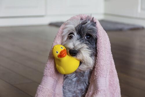Peluquería canina en casa