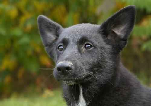 Perro de Canaán: características